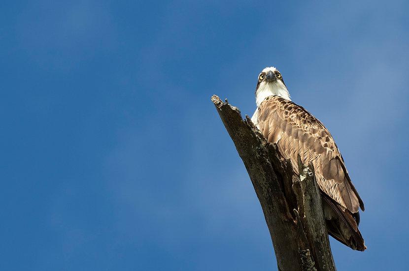 Osprey #18