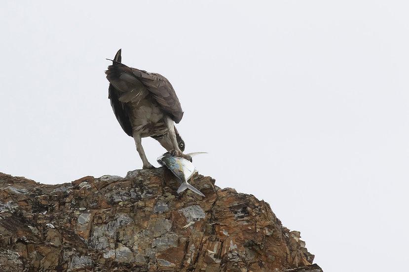 Osprey #68