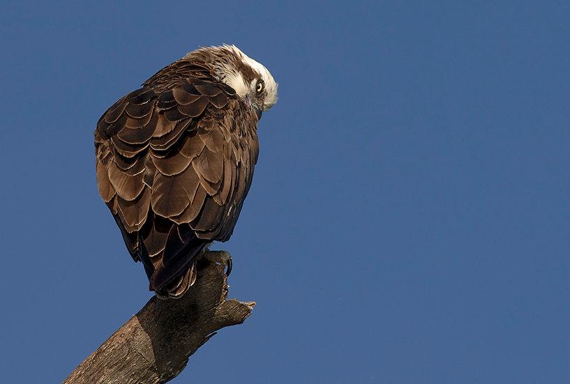 Osprey #13