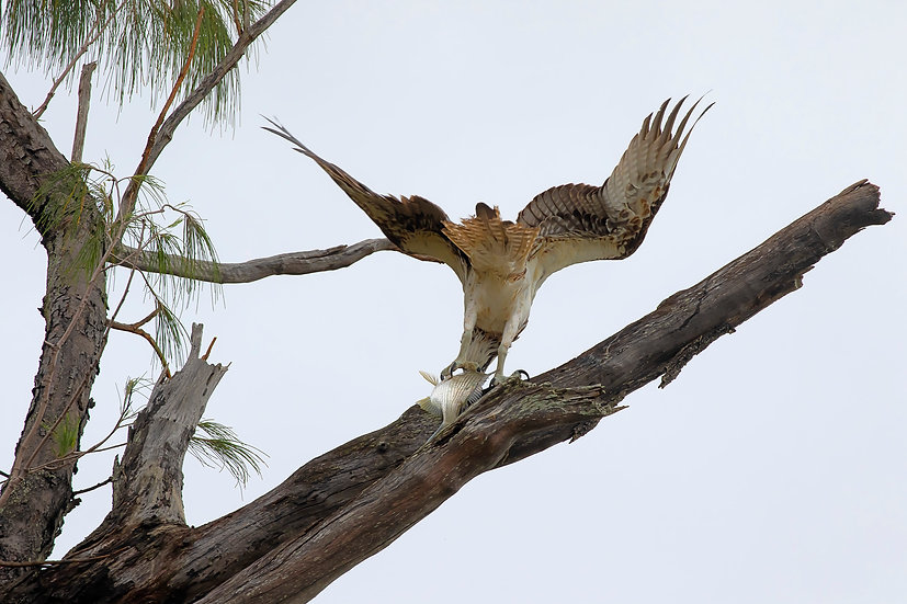 Osprey #58