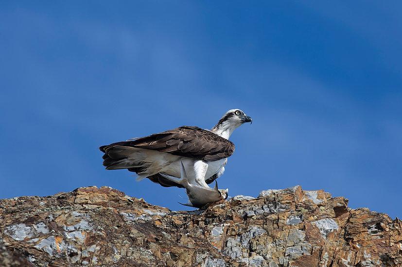 Osprey #52
