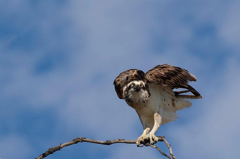 Osprey #35
