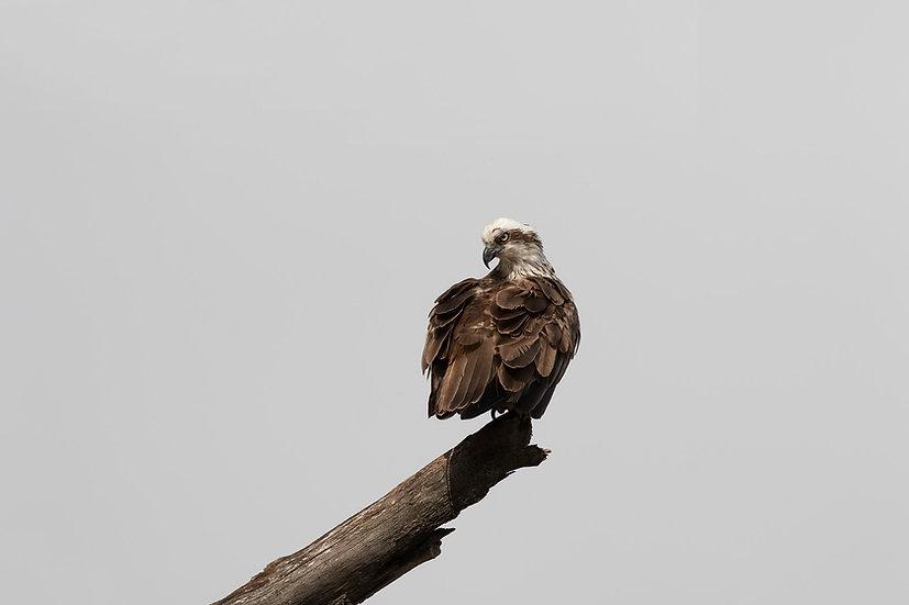 Osprey #15