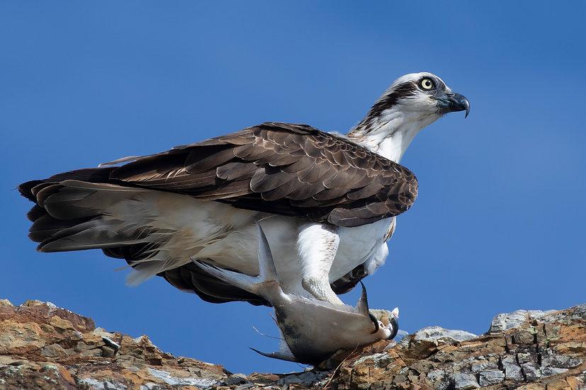 Osprey #43