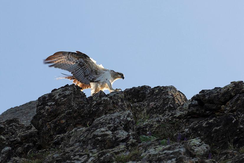 Osprey #19