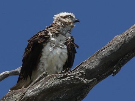 Young Scruffy Osprey after Sea Dive.