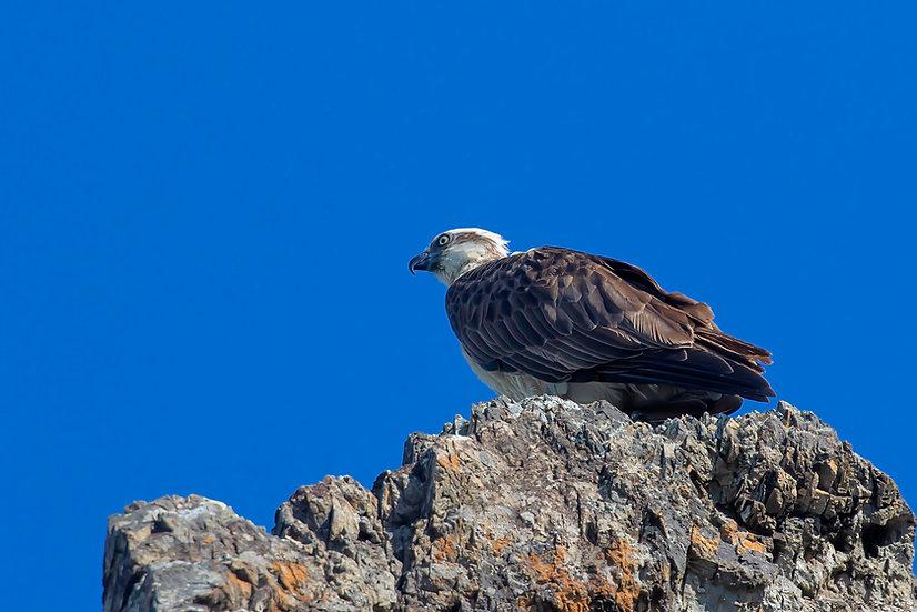 Osprey #33