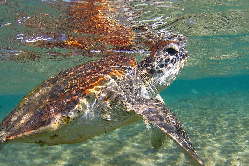 Turtle15