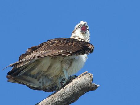 Baby Osprey has left the nest.
