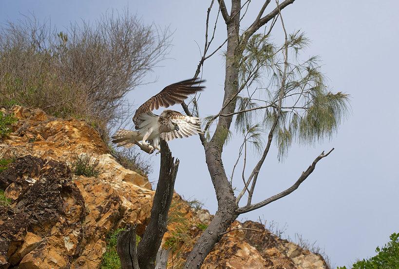 Osprey #49