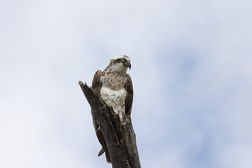 Osprey #11
