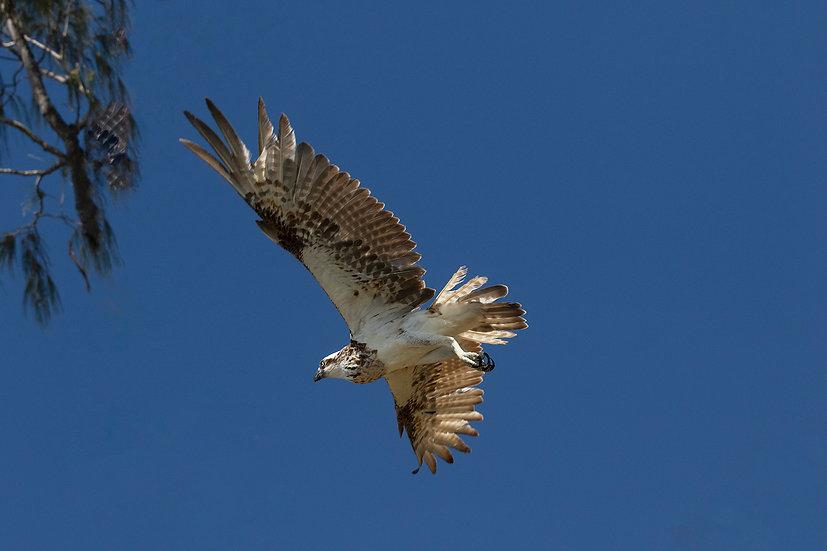 Osprey #26