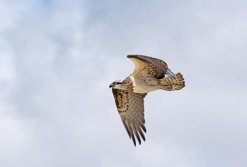 Osprey #6