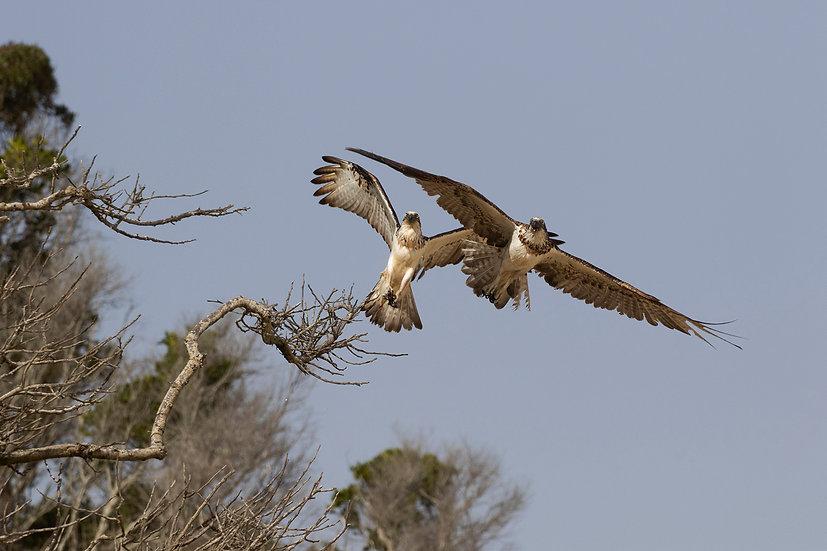 Osprey #56