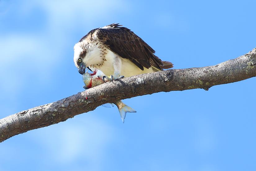 Osprey #42