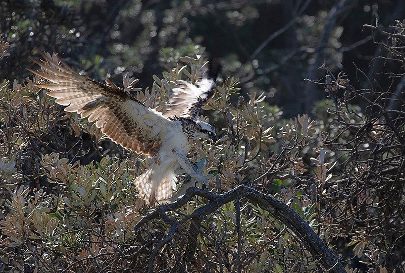 Osprey #46