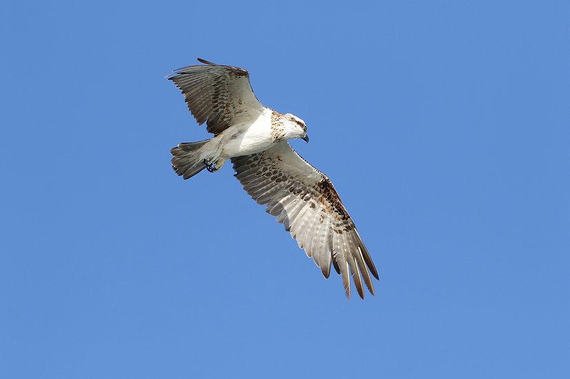 Osprey #7