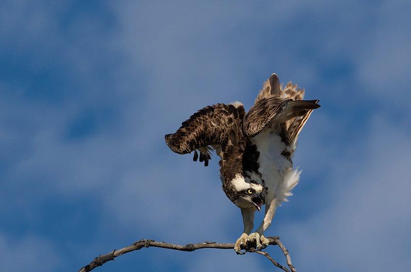 Osprey #34