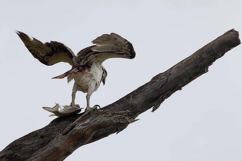 Osprey #60