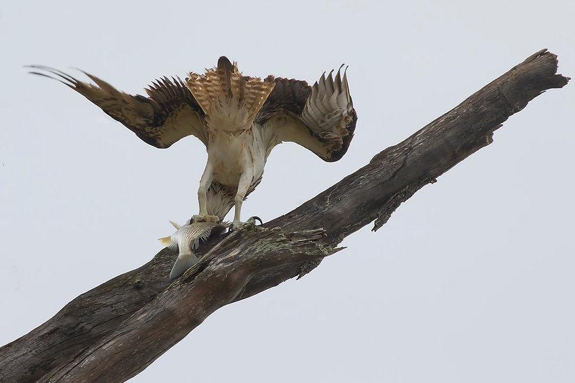 Osprey #59