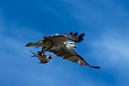 0S7A0011 _osprey51_byronbay_surf_eagle_k