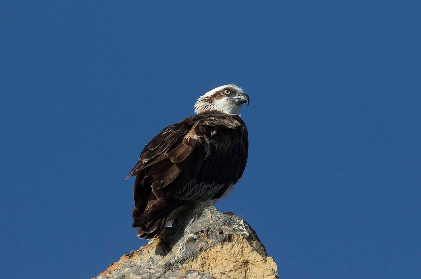 Osprey #14