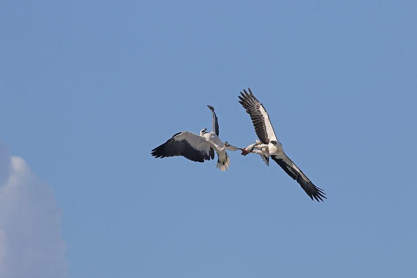 White Bellied Sea Eagles 4