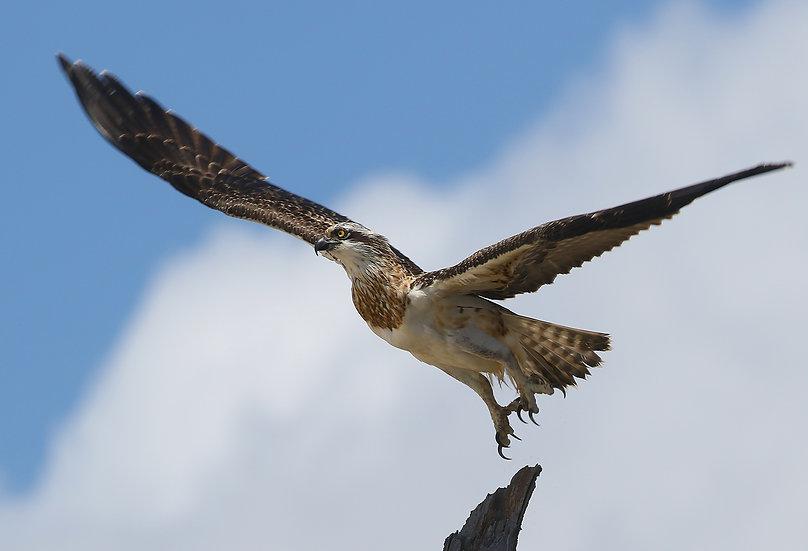 Osprey #27