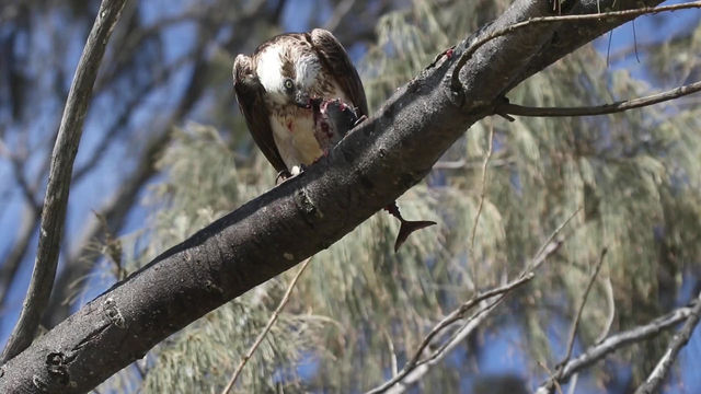 Hungry Osprey