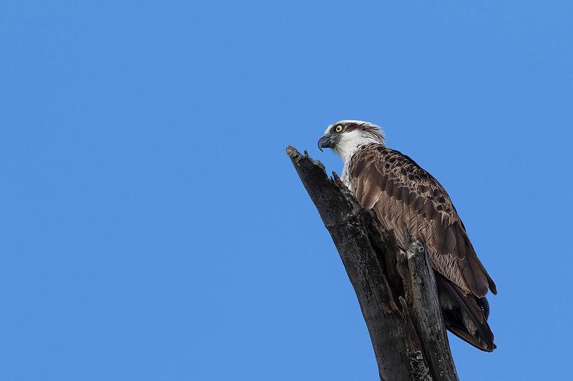 Osprey #39