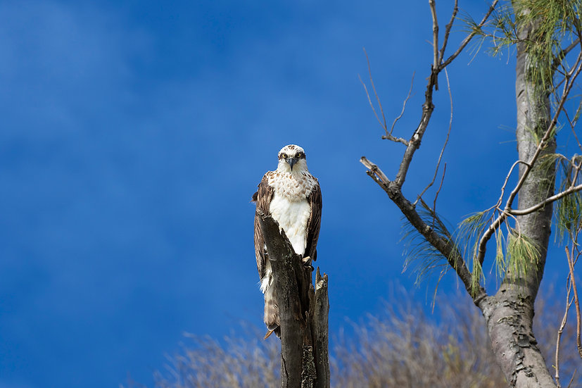 Osprey #31