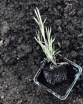 Dianthus Seedling