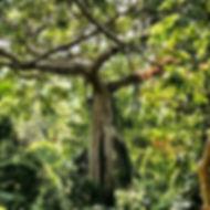 Jungle Tree.jpg
