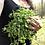Thumbnail: Flowing Waters | Lymphatic Health Herbal Tincture