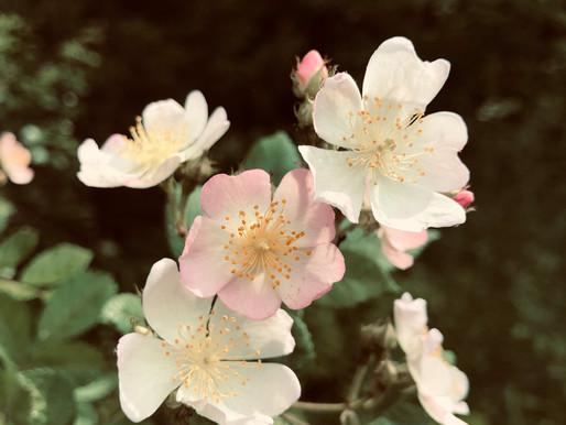 Wild Remedy Plant Profile | Wild Rose