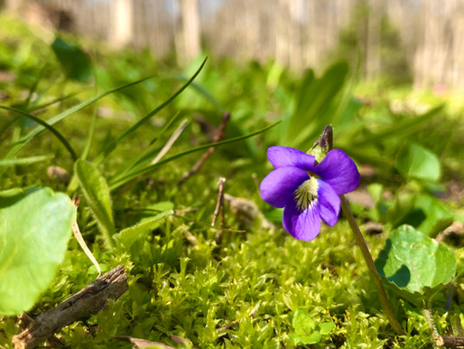 Wild Remedy Plant Profile | Violet