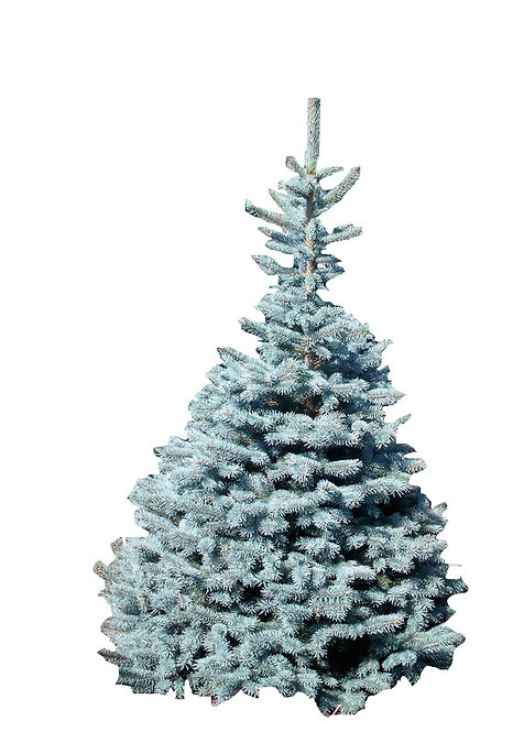 5' Baby Blue Spruce