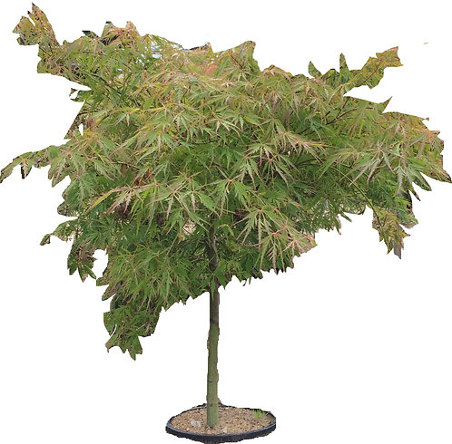 "24"" Viridis Japanese Maple"