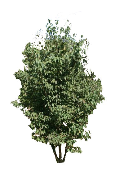 6' Multi-Stem Kousa Dogwood