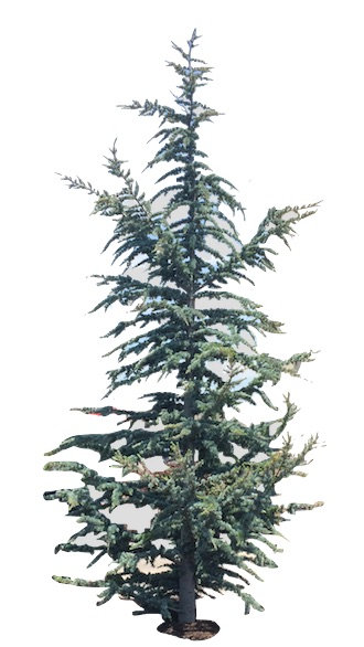 9' Blue Atlas Cedar