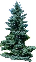 8' Bacheri Spruce