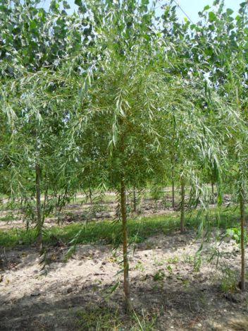 "3"" Niobe Weeping Willow"