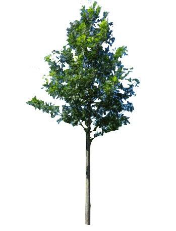 "2.5"" Shumard Oak"