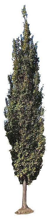 "3"" European Columnar Hornbeam"