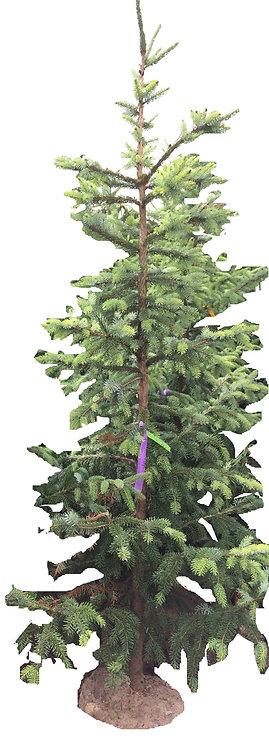 6' Riverside Serbian Spruce