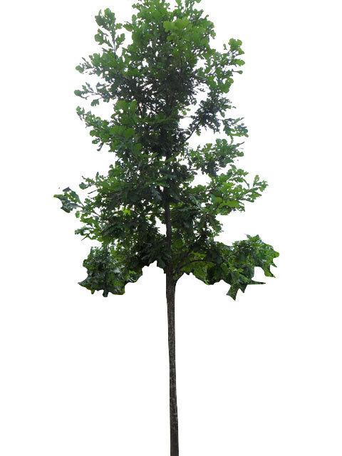 """2"""" Bur Oak"""