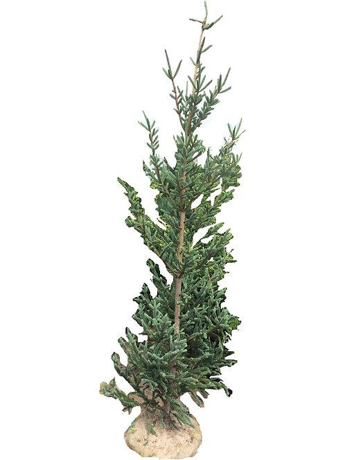 7' Deer Run Oriental Spruce
