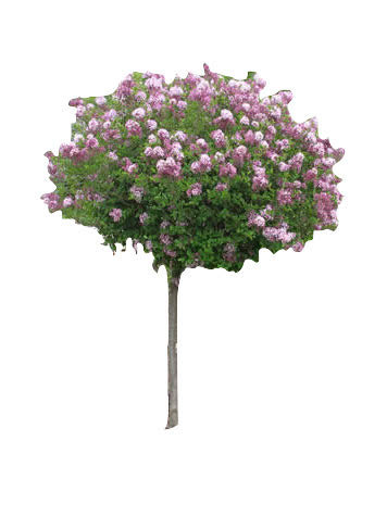 "1.75"" Dwarf Korean Lilac"