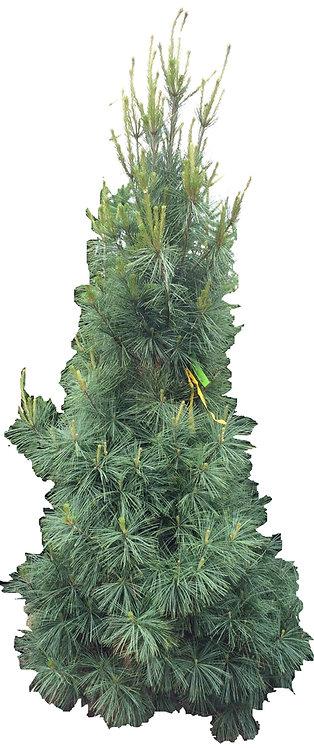 6' Columnar White Pine