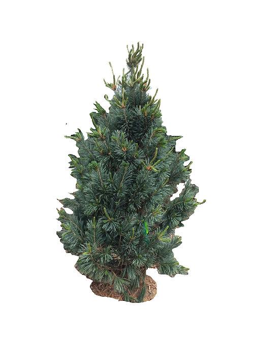 6' Vaderwolf's Pyramid Pine